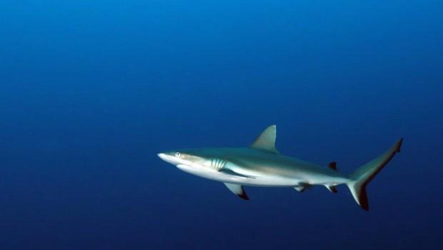 Hiro Shark Munda