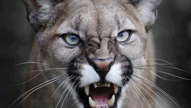 Photo of Surviving a mountain lion attack